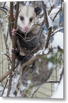 Possum Metal Print by Steven Ralser
