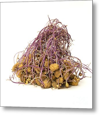 Potato Metal Print by Bernard Jaubert
