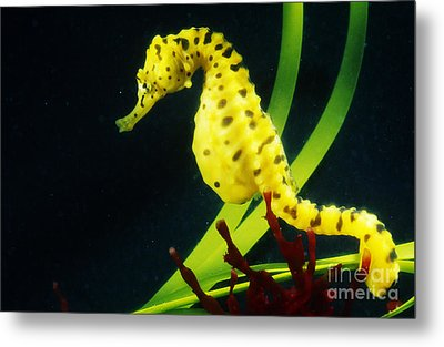 Potbellied Seahorse Metal Print by Gregory G. Dimijian