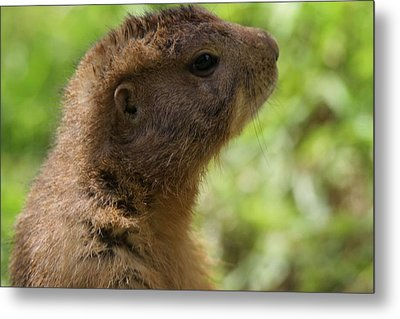 Prairie Dog Portrait Metal Print by Dan Sproul