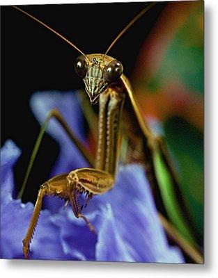Praying Mantis  Closeup Portrait 3  On Iris Flower Metal Print by Leslie Crotty