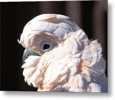 Pretty In Pink Salmon-crested Cockatoo Portrait Metal Print by  Andrea Lazar