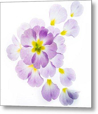 Primrose Petals 1 Metal Print by Rebecca Cozart