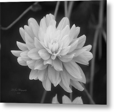 Prissy In Black And White Metal Print by Jeanette C Landstrom