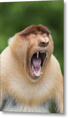 Proboscis Monkey Dominant Male Yawning Metal Print by Suzi Eszterhas