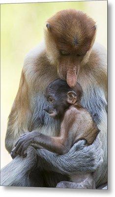 Proboscis Monkey Mother Holding Baby Metal Print by Suzi Eszterhas