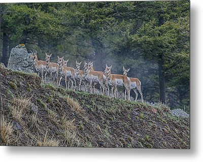 Pronghorn Metal Print by Gary Hall