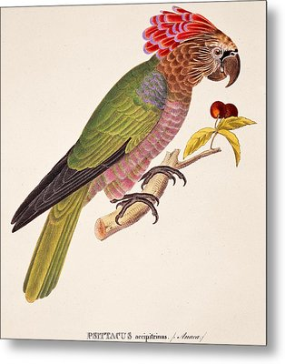 Psittacus Accipitrinus Metal Print by German School