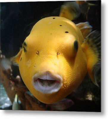 Puffer Poses Metal Print by Refresh  Photography