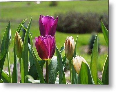 Purple Tulips Garden Art Print Tulip Flowers Metal Print by Baslee Troutman