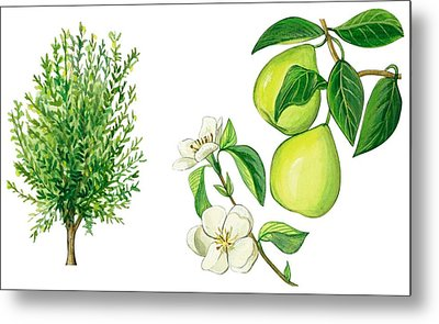 Quince Tree Metal Print by Anonymous