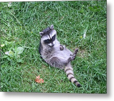 Raccoon Plays In The Grass Metal Print by Kym Backland
