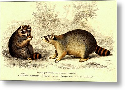 Raccoons Metal Print by Collection Abecasis
