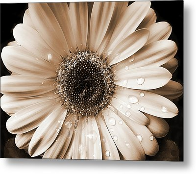 Raindrops On Gerber Daisy Sepia Metal Print by Jennie Marie Schell