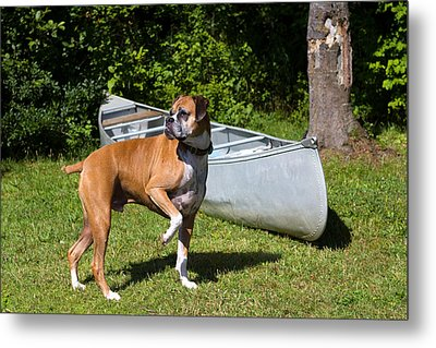 Ranger The Boxer Metal Print by Stephanie McDowell