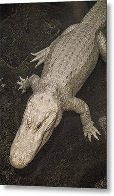 Rare White Alligator Metal Print by Garry Gay