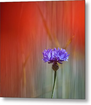 Red And Blue Metal Print by Heiko Koehrer-Wagner