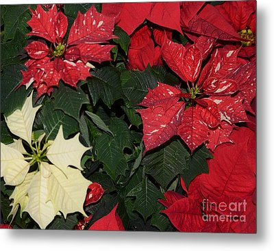 Red And White Poinsettia Metal Print by Kathleen Struckle