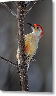 Red Bellied Woodpecker Metal Print by Paul Freidlund