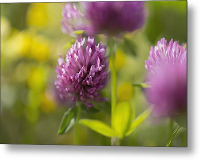 Red Clover _trifolium Pratense__ Black Metal Print by Carl Bruemmer