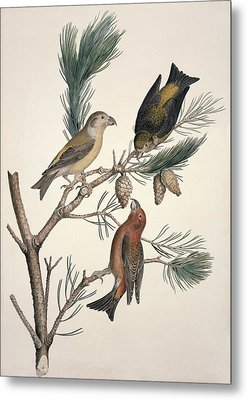 Red Crossbill, 19th Century Metal Print by Science Photo Library