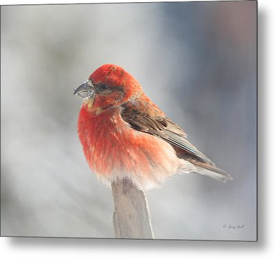 Red Crossbill Metal Print by Gerry Sibell