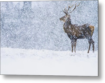Red Deer Stag In Snowfall Derbyshire Uk Metal Print by James Shooter