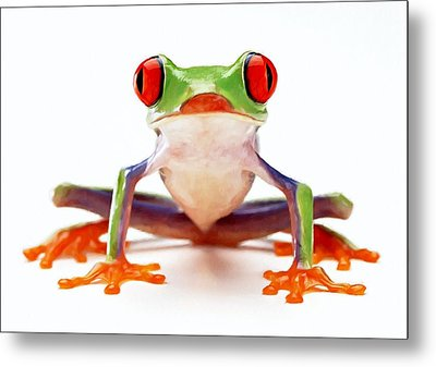 Red-eye Tree Frog 2 Metal Print by Lanjee Chee