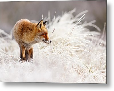 Red Fox And Hoar Frost _ The Catcher In The Rime Metal Print by Roeselien Raimond