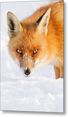 Red Fox In The Snow Metal Print by Roeselien Raimond