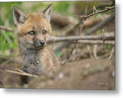 Red Fox Kit Metal Print by Everet Regal