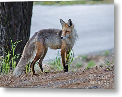 Red Fox Metal Print by Robert Bales