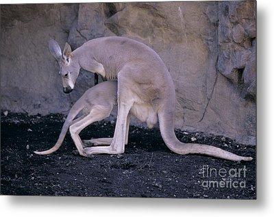 Red Kangaroo. Australia Metal Print by Art Wolfe