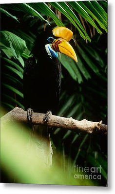 Red-knobbed Hornbill Metal Print by Art Wolfe