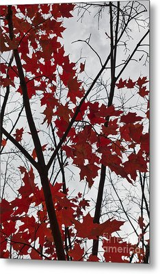 Red Maple Branches Metal Print by Ana V  Ramirez