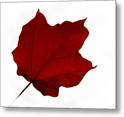 Red Maple Now Metal Print by Tina M Wenger