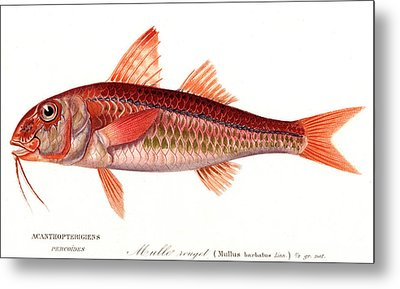 Red Mullet Metal Print by Collection Abecasis
