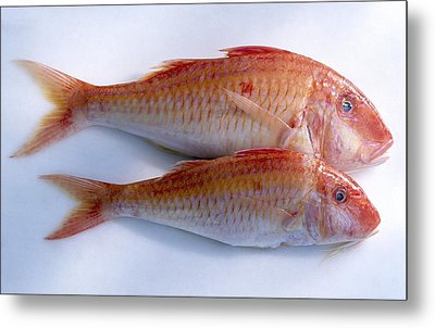 Red Mullet Metal Print by Science Photo Library