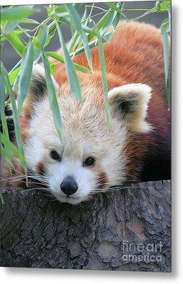 Red Panda Metal Print by Karol Livote