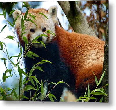 Red Panda Metal Print by Trever Miller
