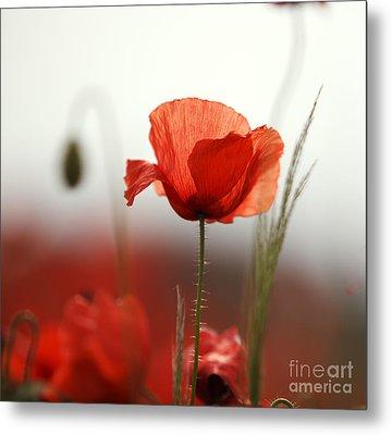 Red Poppy Flowers Metal Print by Nailia Schwarz