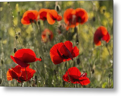 Red Poppy _papaver Rhoeas__ Upper Rhine Metal Print by Carl Bruemmer