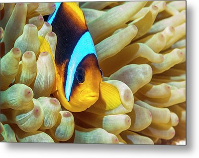 Red Sea Anemonefish Metal Print by Georgette Douwma