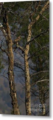 Red-tail Hawk   #0596 Metal Print by J L Woody Wooden