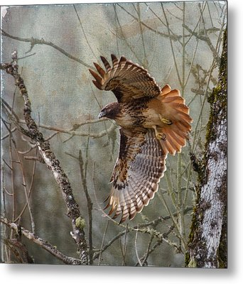 Red-tail Hawk In Flight Metal Print by Angie Vogel