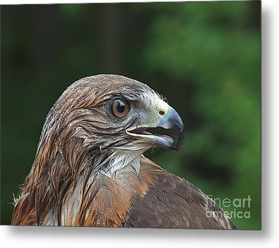 Red Tail Hawk Rain Metal Print by Peter Gray