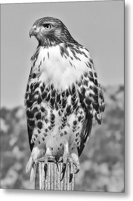 Red Tail Hawk Youth Black And White Metal Print by Jennie Marie Schell