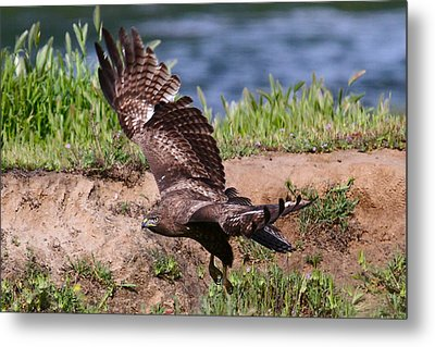 Red Tail On The Hunt Metal Print by Paul Marto
