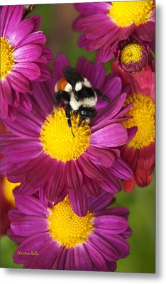 Red-tailed Bumble Bee Metal Print by Christina Rollo