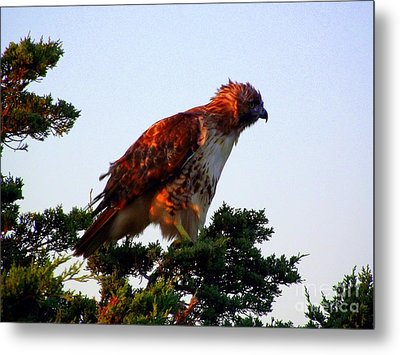 Red-tailed Hawk Fluff Up Metal Print by CapeScapes Fine Art Photography